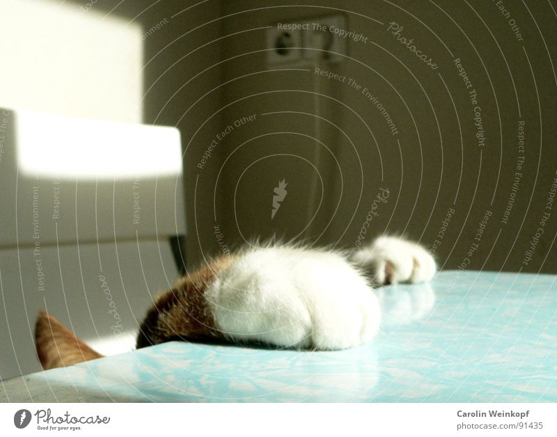 White Red Playing Cat Table Soft Climbing Desire Mysterious Pelt Touch Curiosity Cute Mammal Paw