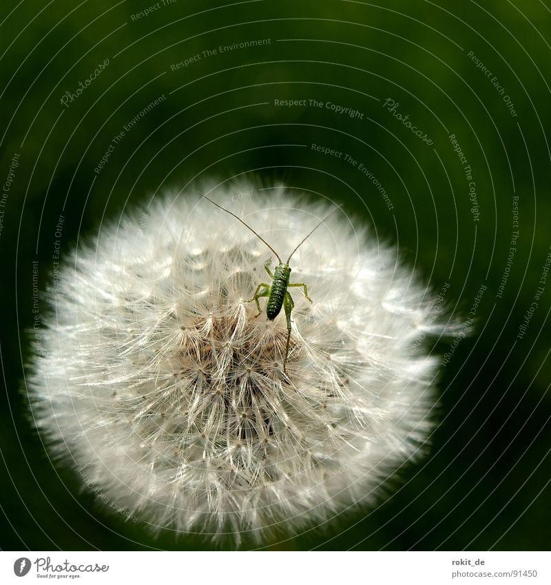 Come on, little one, hop already II Dandelion Jump Small Diminutive Green Hop Meadow Field Feeler Locust swab umbrella ticklish
