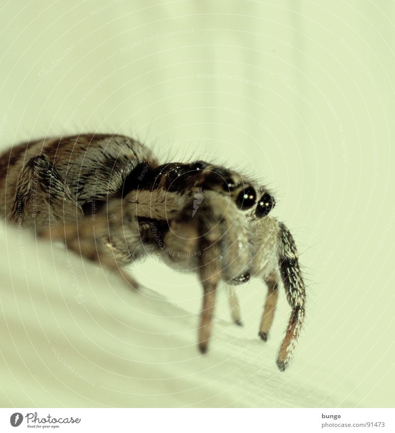 Eyes Small Fear Disgust Spider Panic Jumping spider Articulate animals Mandible Eating mechanism Chelicerae Zebra spider