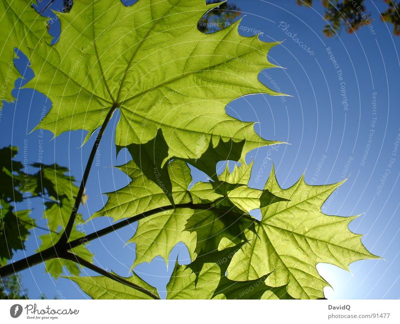 Young leaves on the sun deck Spring Sun Maple tree Norway maple Leaf Photosynthesis Growth Fresh Translucent Vessel Potsdam view into the sky Bud Plantlet