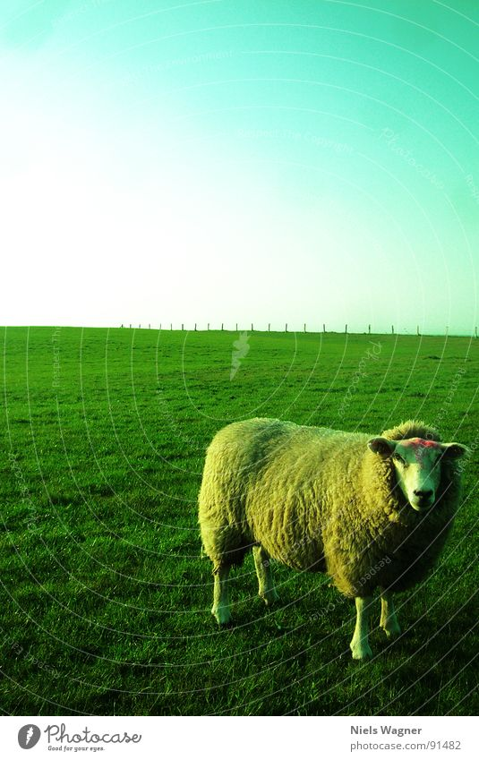 please smile Sheep Green Light Ocean Field Meadow Wool Animal Fence Clouds Wool sweater Sun Hill Dike Habitat Nature reserve Baltic Sea Feet Posture Shadow