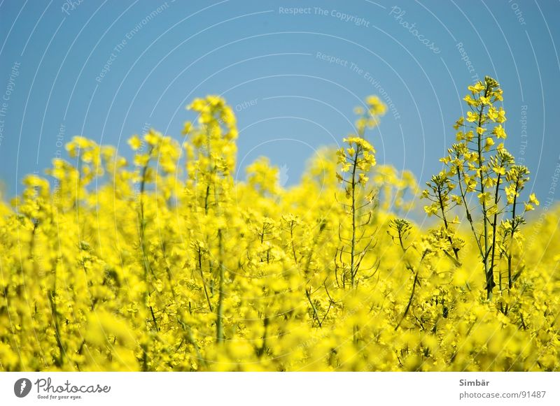 Sky Blue Plant Summer Yellow Warmth Physics Hot Canola