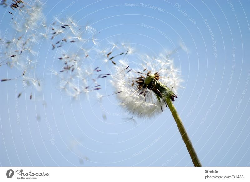 windswept Dandelion Flower Plant Summer Air Easy Seed Nature Sky Blue Flying Wind