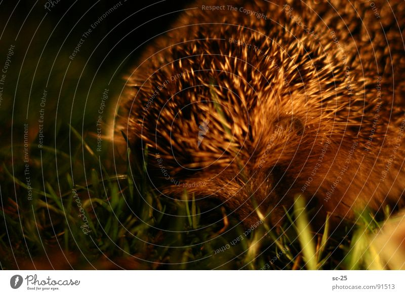 Hedgehogs in the night Night Meadow Close-up Grass Animal Mammal focus Spine