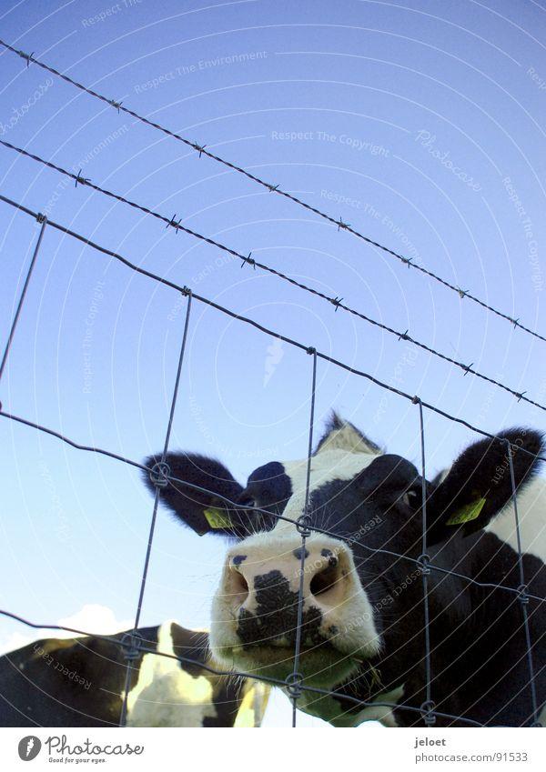 Sky Blue Animal Sadness Grief Farm Curiosity Cow Pasture Fence Diagonal Beautiful weather Captured Mammal Wire Muzzle