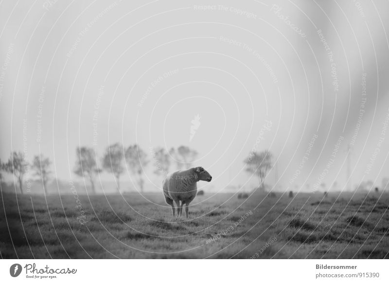 Nature White Loneliness Landscape Calm Animal Black Meadow Grass Gray Moody Field Idyll Stand Observe Agriculture