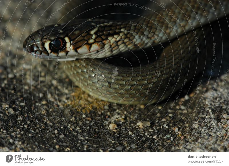 Nature Eyes Dark Skin Barn Poison Snake