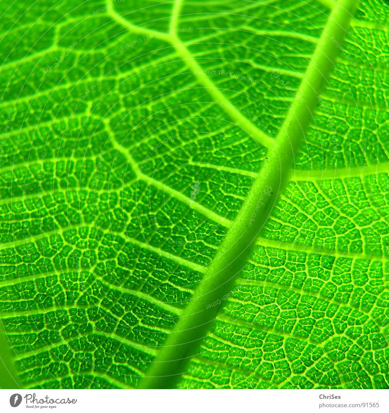 fig leaf Leaf Green Plant Fig Fig leaf Spring Leaf green Tree Photosynthesis Macro (Extreme close-up) Close-up Nature texture ChrISISIS