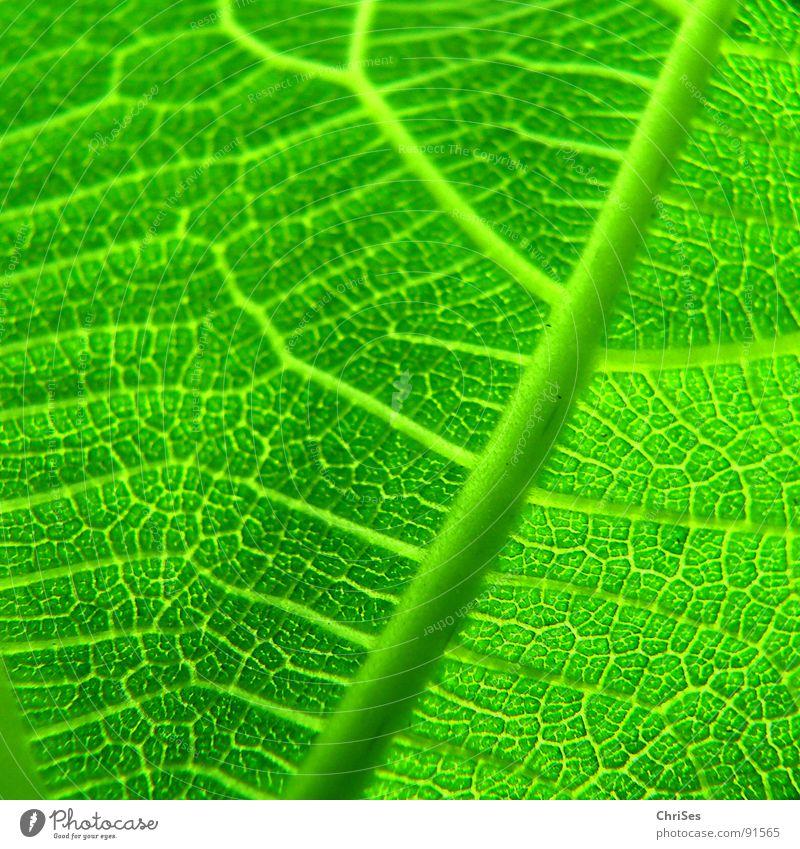 Nature Tree Green Plant Leaf Spring Photosynthesis Fig Leaf green Fig leaf