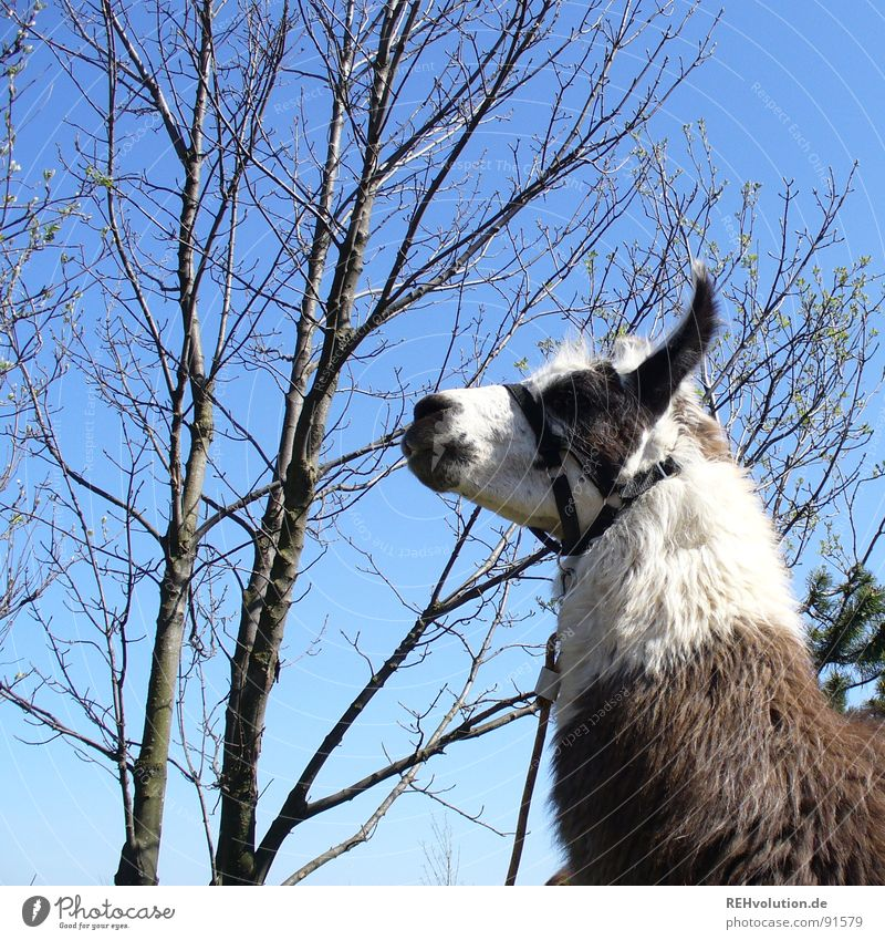 A llama stands in the woods ... Animal Spit Tree Chained up Get caught on Summer Distress Dappled Halter Nostrils Wasserkuppe Ride Petting zoo Bushy Skeptical