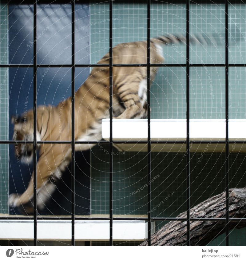 pixelated III Tiger Zoo Animal Sleep Cage Grating Grief Captured Paw Environmental protection Living thing Shows Land-based carnivore Big cat Masculine Pelt