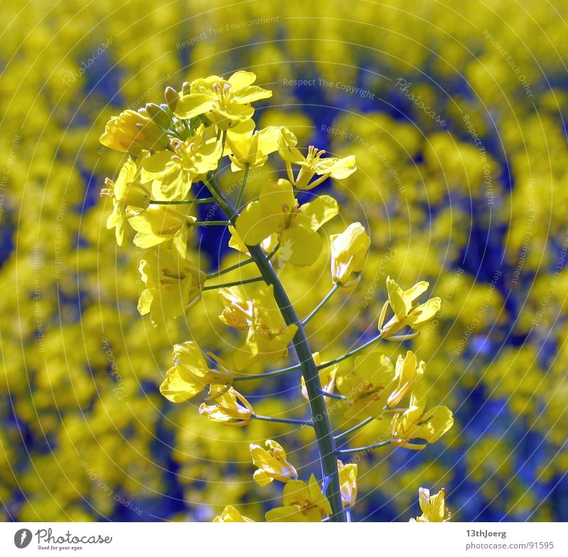rape boredom Field Agriculture Canola Summer Yellow Blossom Flower Allergy Botany Biology Landscape Plant Pollen