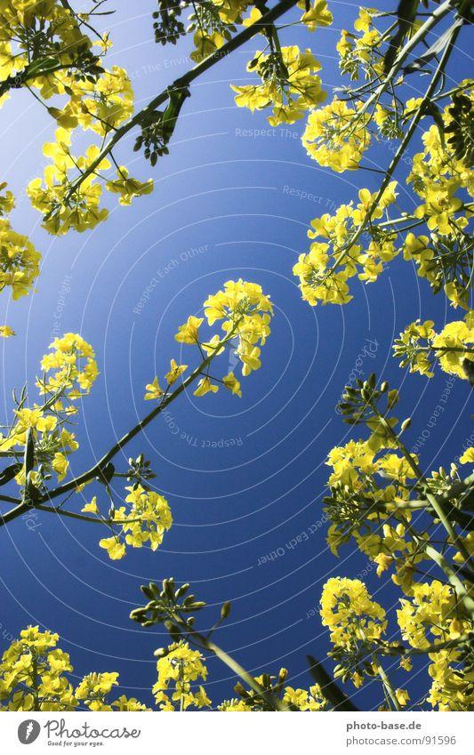 Sky Blue Plant Yellow Field Lie Canola