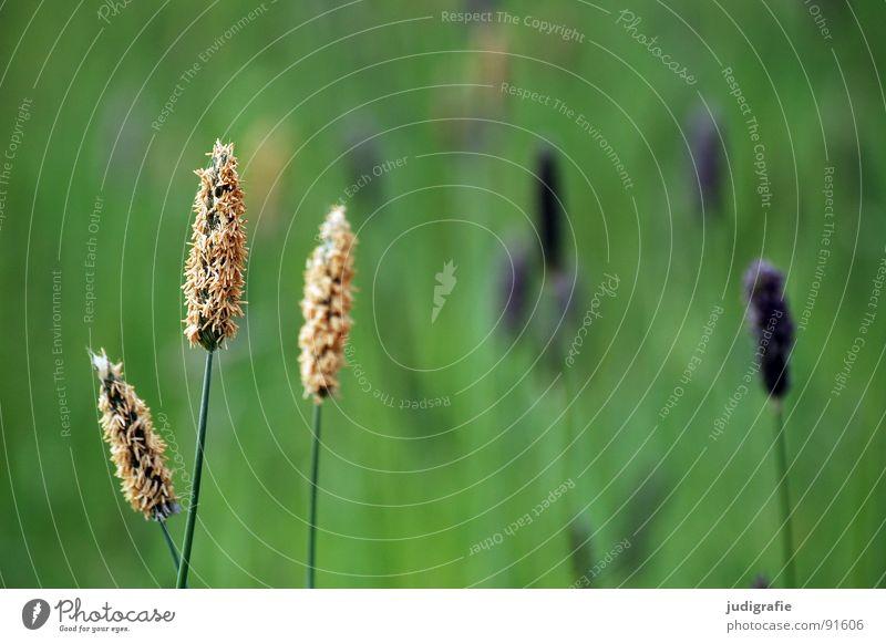 grass Grass Green Violet Stalk Blade of grass Ear of corn Glittering Beautiful Soft Hissing Meadow Delicate Flexible Sensitive Pennate Summer Blue Pollen risp