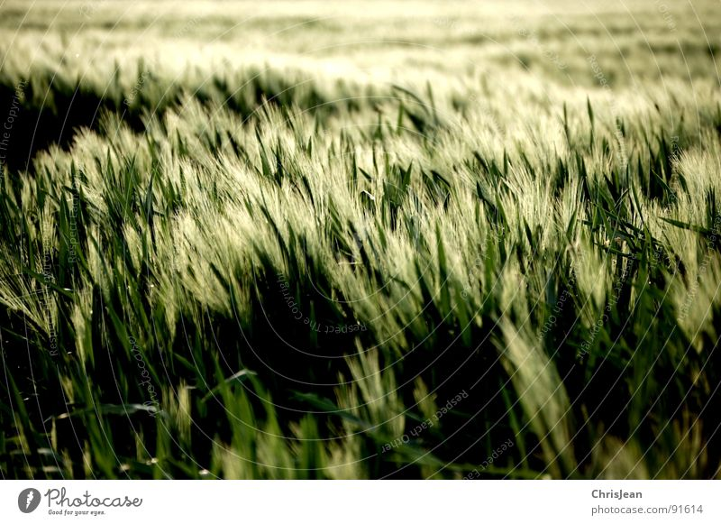 Nature Green Spring Moody Lighting Field Wind Agriculture Blade of grass Grain Dusk Blow Barley Evening sun Agra