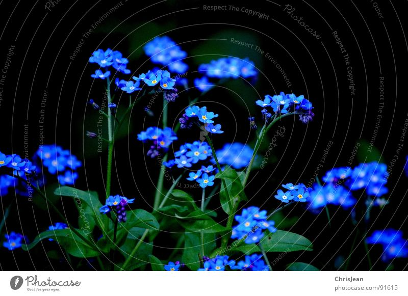 Remember... Forget-me-not Flower Spring Blossom Meadow Blue plant Nature nikonic d40