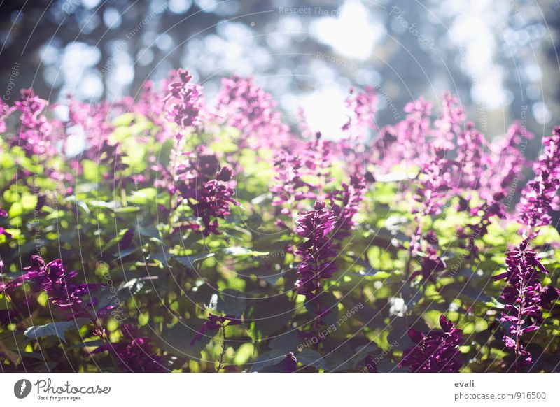 Spring in the garden Plant Sunlight Summer Beautiful weather Flower Bushes Garden Park Blossoming Green Violet Warm-heartedness Spring fever Spring day