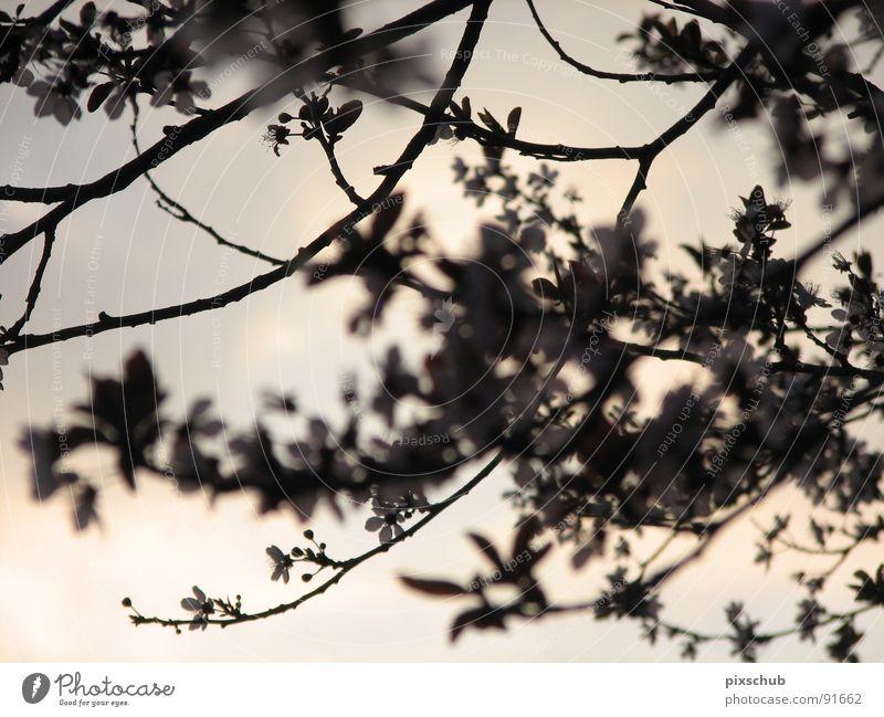 mystical moment Evening Tree Dark Blossom Spring Mystery Mystic Dusk Twig flowering twig Snapshot
