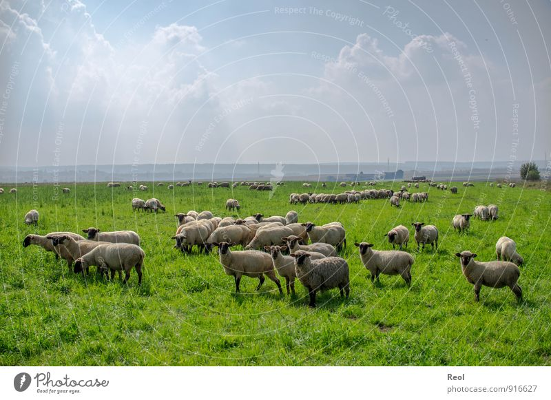 Clouds and sheep Farm Shepherd Environment Nature Sky Summer Weather Beautiful weather Foliage plant Agricultural crop Grassland Meadow Field Pasture Animal