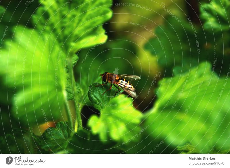Green Plant Summer Leaf Small Flying Break Bushes Wing Insect Pain Bee Striped Hover fly