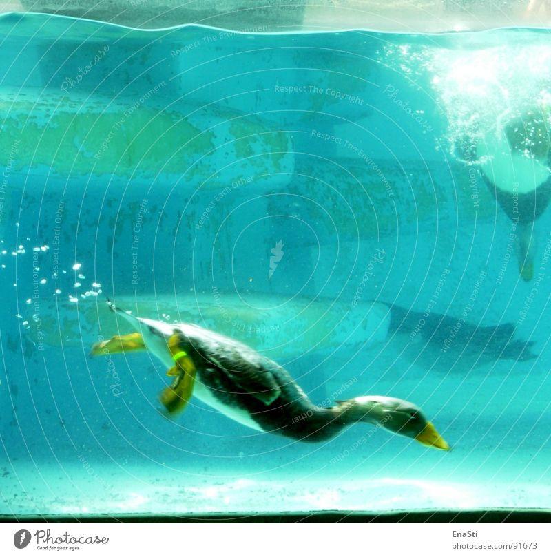 Water Blue Animal Dive Zoo Blow Deep Duck