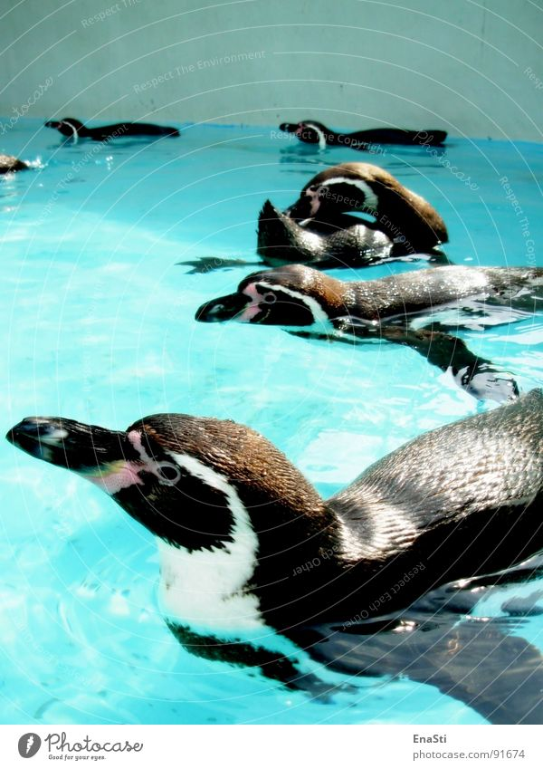 Water Blue Summer Black Animal Cold Ice Bright Clarity Cleaning Zoo Beak Penguin