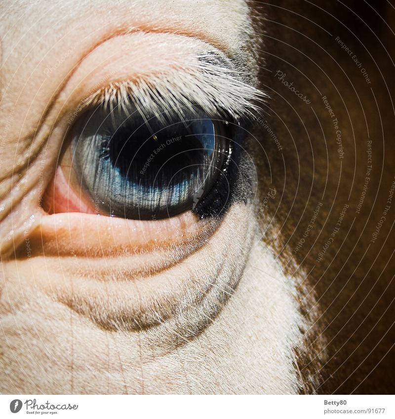 fisheye Horse Horse's eyes Eyelash Pupil White Looking Mammal Macro (Extreme close-up) Close-up Eyes eyelid crease Blue Iris Snapshot Looking into the camera