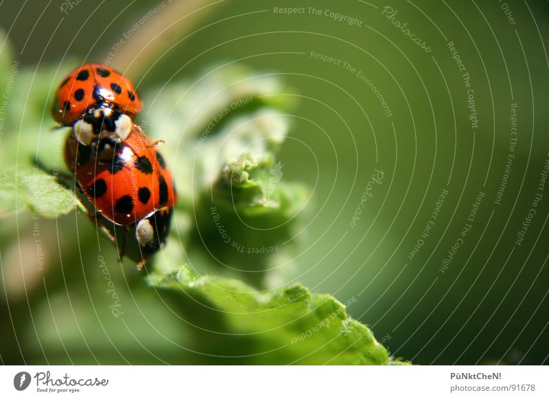Nature Green Summer Joy Leaf Animal 2 Pair of animals In pairs Point Beetle Ladybird Propagation