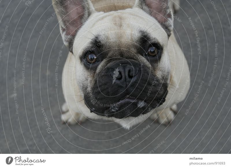 Black Eyes Dog Curiosity Mammal Beige Snout Muzzle Animal Pug