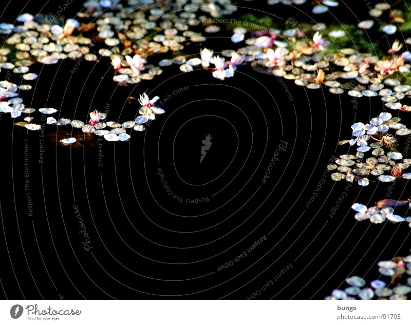 Dark tears Pond Reflection Blossom Pattern Surface Water petals Cover Structures and shapes flakes Float in the water