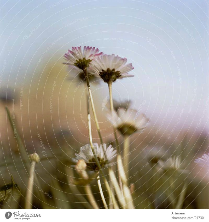Beautiful Sky Flower Summer Blossom Spring Fresh Blossoming Daisy