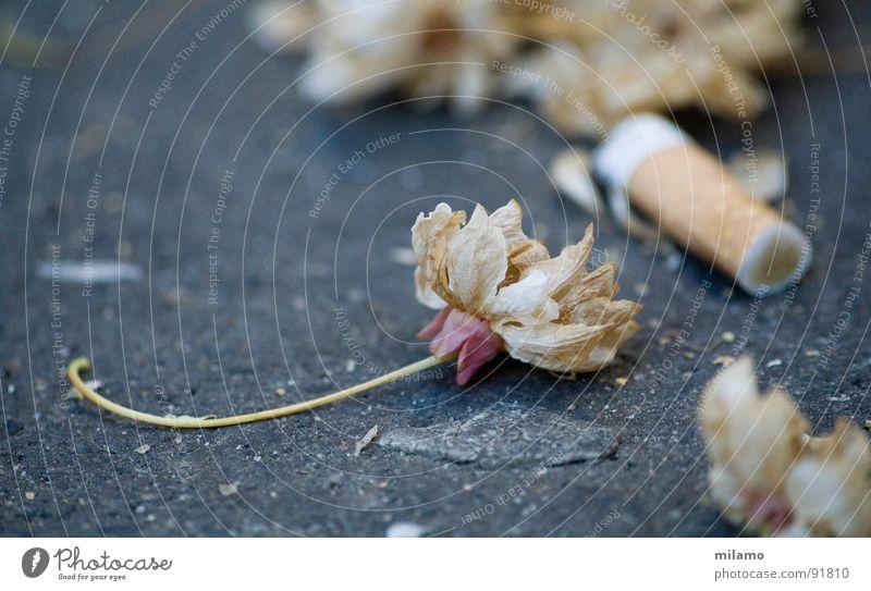 Gray Blossom Transience Asphalt Cigarette Beige Limp Fragile Ornamental cherry Cigarette Butt