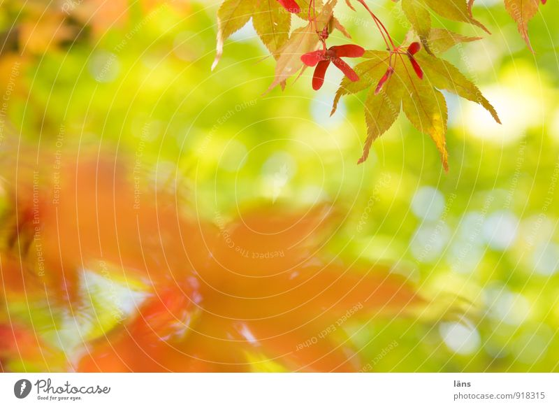 opposite. Environment Nature Sunlight Autumn Tree Leaf Foliage plant Wild plant Japan maple tree Garden Park Uniqueness Transience Change Maple tree Maple leaf