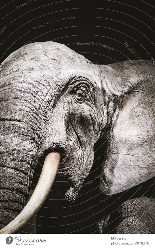 thick-skinned II 1 Animal Old Elephant Tusk Eyes Ear Wrinkles Rough Gray Sadness Face to face Threat Subdued colour Close-up Deserted Artificial light