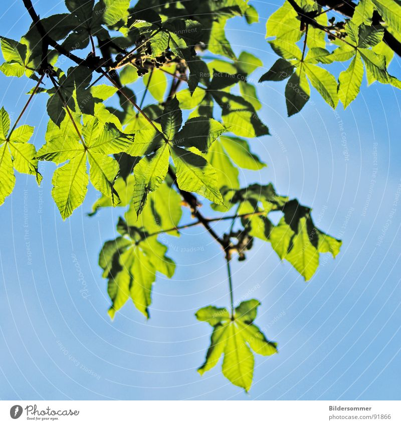 chestnut Chestnut tree Tree Leaf Chestnut leaf Green Sky blue Grass green Spring Nature Jump lemon Blue leaves