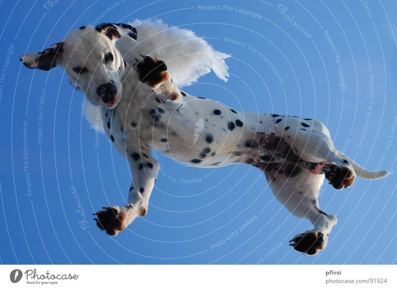 Flying dog - 1 Dog Dalmatian Spotted Dappled Worm's-eye view White Black Hang Companion Mammal dalmation Point Patch Sky Blue Above down enzo