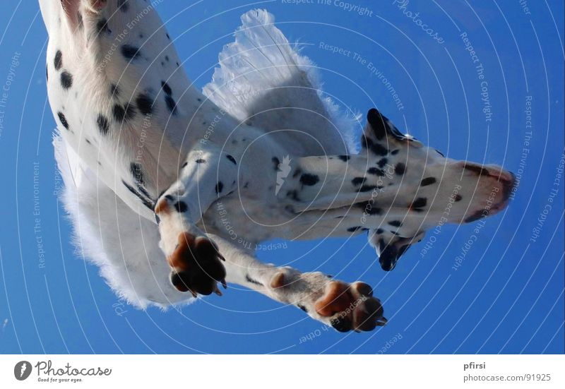 Flying dog - 2 Dog Dalmatian Spotted Dappled Worm's-eye view White Black Hang Companion Mammal dalmation Point Patch Sky Blue Above down enzo
