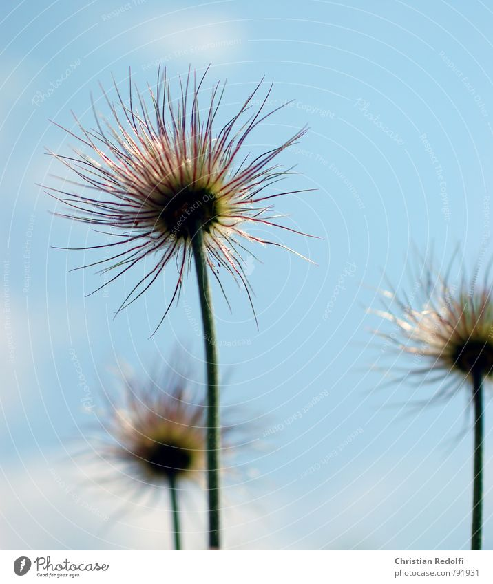 plant Plant Flower Herbaceous plants Stalk Blur Propagation pulsatilla fruit stand Seed Sewing thread Sky Faded solar irradiation