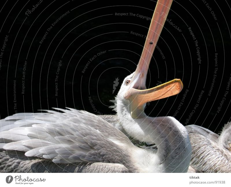 Catch the fly Pelican Bird Animal Feather Beak Wilderness Appetite Snapshot Wing waterfowl Nature Fly Flying Hunting snap shut Funny Contrast