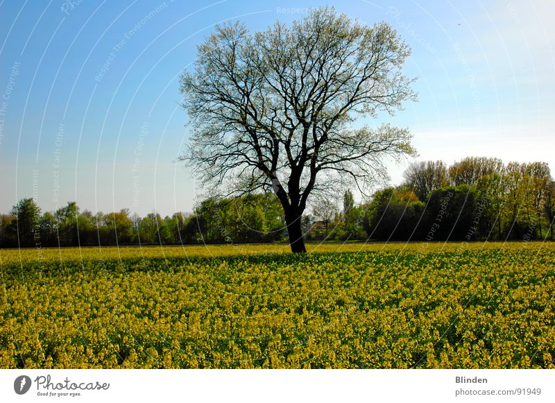 Nature Tree Calm Blossom Spring Freedom Blue sky Canola field