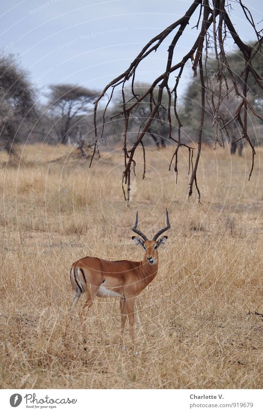leaf shot Nature Animal Branch Savannah National Park Tarangire National Park Tansania Africa Wild animal Antelope impala 1 Listening Looking Stand Wait