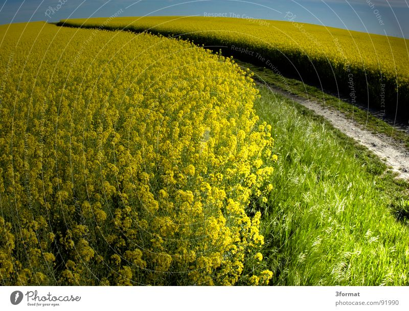 rapsfeld Canola Plant Yellow Green Spring Field Canola field Agriculture Honey Bee Blossom Flower Ecological Tracks Border Forest path Footpath Meadow