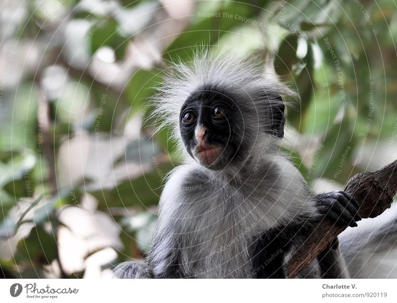 Nature Green Tree Leaf Animal Black Baby animal Gray Wild animal Crazy Island To hold on Africa Animal face Virgin forest Cuddly