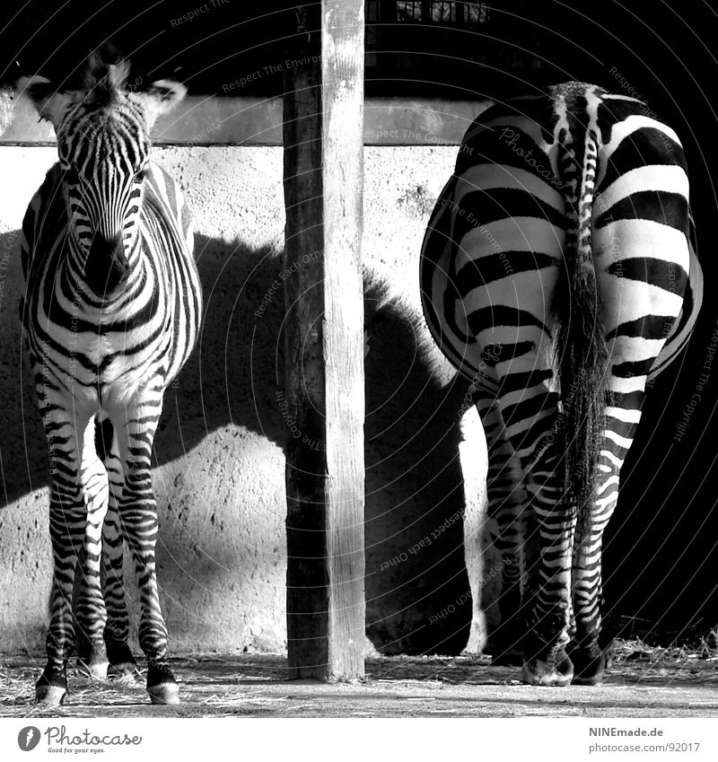 From the back as well as from the front ... Stripe Zebra crossing Light and shadow Zoo Animal Africa Reflection Side by side Column Pole Divide Photography