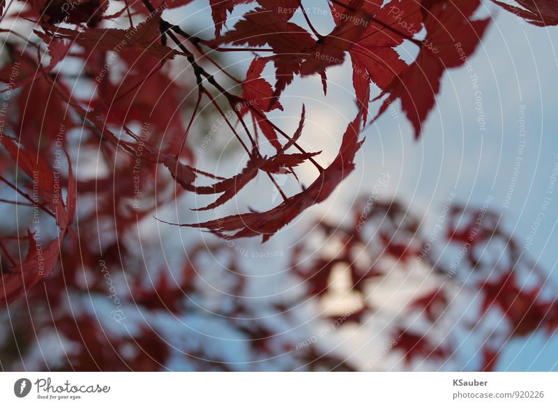 Nature Blue Red Leaf Calm Forest Autumn Autumn leaves