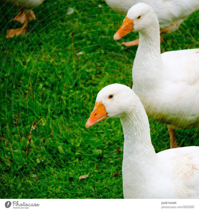 Curiosity squared Agriculture Meadow Farm animal Goose Animal Authentic naturally Watchfulness Interest Expectation Group of animals Detail