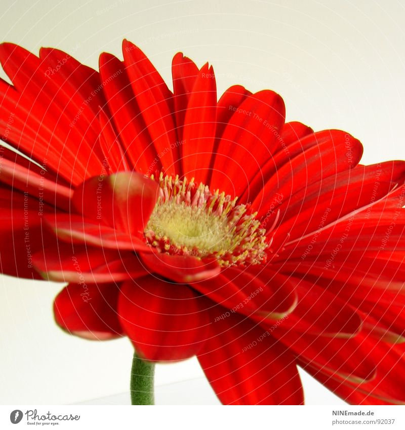 Nature Green Beautiful Red Flower Yellow Blossom Spring Perspective Middle Stalk Square Beige Pollen Partially visible Blossom leave