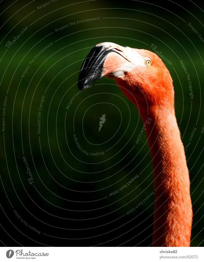 Mr. Pink Flamingo Zoo Florida Miami Vacation & Travel Animal Bird Beak Posture Neck long neck contrast
