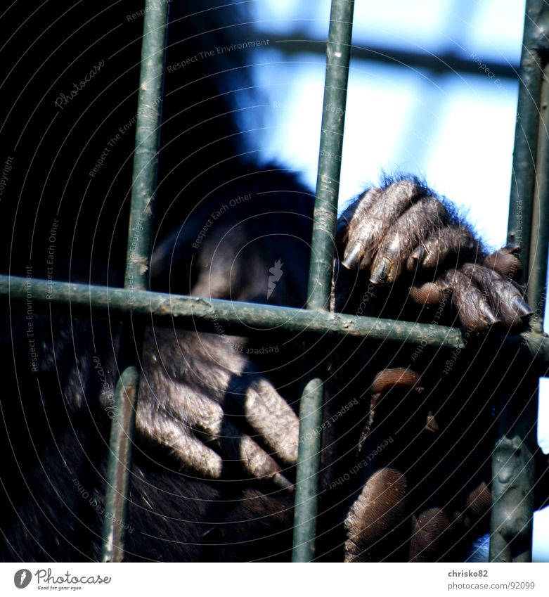 behind bars Monkeys Apes Animal Zoo Cage Enclosure Captured Hand Pelt Fingers Nail Fingernail Toes Grating Gesture Posture Cologne Tunnel Madagascar Grief