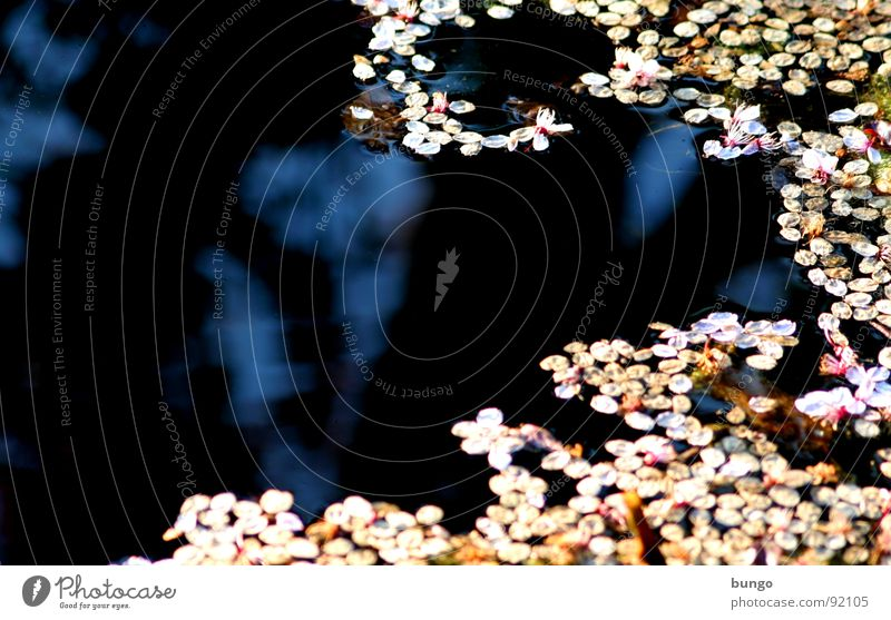Silent tears have a deep origin Pond Reflection Blossom Pattern Dark Surface Water petals Cover Structures and shapes flakes Float in the water